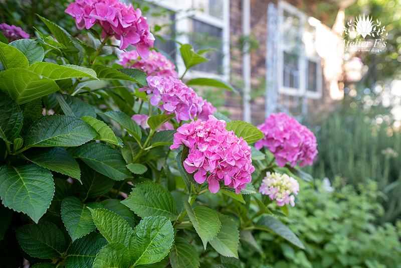 小さな庭に咲くアジサイ