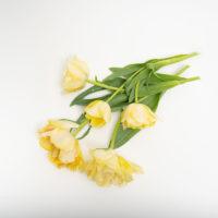 チューリップの切り花